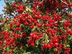 Hawthorn: for cardiovascular system, hypertension, antioxidant properties.