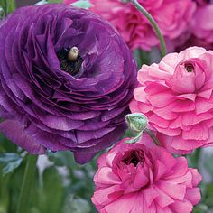 Maché ranunculus. With luscious petals that look like layers of brightly pigmented tissue paper, the 4-inch-wide blooms sit atop sturdy stem...