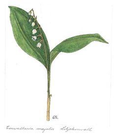 Convallaria majalis - Illustration by Dagny Tande Lid