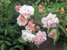 rosa cornelia - Google Search