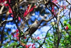 Brown-eared Bulbul on Red-blossomed Plum Tree