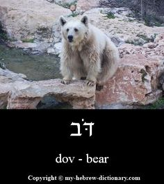 "How to say ""bear"" in Hebrew. This is also a common boy's name. (Click to hear it pronounced by an Israeli.)"