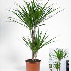 "Dracaena ""Marginata"" 120 cm hoch,1 Pflanze"
