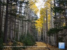 Ponderosa pines and golden aspens line the Bear Jaw trail during the spectacular #fall season in #Flagstaff, Arizona.