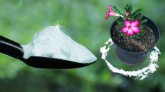 Baking Soda Benefits, Baking Soda Uses, Container Gardening, Gardening Tips, Fertilizer For Plants, Garden Pests, Desert Rose, Plant Care, Garden Projects