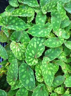 Begonia chlorosticta, by Steve's leaves