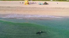 Un requin tigre filmé par un drone proche des baigneurs à Miami Beach