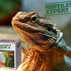 Bartagamen Tipp. 70 Watt uvb Lampe mit 30 bis 40 cm Abstand. Animals, Iguanas, Reptiles, Tips, Animales, Animaux, Animal, Animais