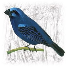 Azulão, Bigodinho, Caboclinho, Patativa, Tico-Tico, Japim, Japu, Melro e Canário - Aves da Família Emberizidae