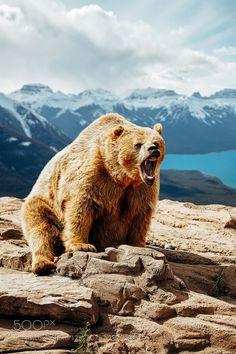 Banff Alberta - Pinned by Mak KhalafFollow Me On Instagram Follow Me On Facebook Animals canadaanimalsbeautifulanimalwildlifebearoutdoorswildalbertarockiesbanffrocky mountainsbrown beargrizzlygrizzly bearrejean brandt by RejeanBrandt
