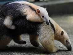 ©AFP Der Ameisenbär ist weltweit vom Aussterben bedroht - der Lebensraum wird immer kleiner.Dass...