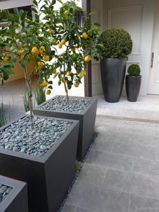 citrus trees in modern planters with gray river stones