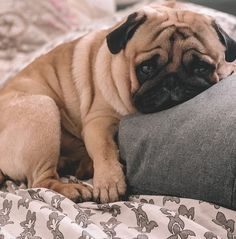 Pugs are not for everyone, but those they are, hold on! Cute Baby Pugs, Cute Dogs And Puppies, Baby Puppies, Cute Baby Animals, Pet Dogs, Funny Animals, Dog Cat, Pets, Bulldog Puppies