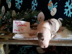 Hoots Catahoulas puppies for sale the our Facebook page for more information