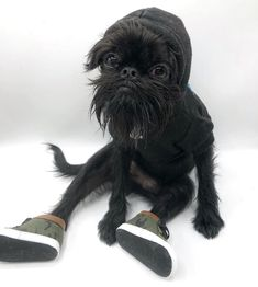 This is 'Hank' the Brussels Griffon. Cute Animal Memes, Funny Animal Pictures, Dog Pictures, Cute Baby Animals, Animals And Pets, Funny Animals, Griffin Dog, Cute Puppies, Dogs And Puppies