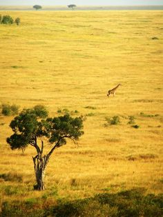 The savannah… trees, grass… that's a Masai Giraffe, btw. Out Of Africa, Kenya Africa, South Africa, Places To Travel, Places To See, Places Around The World, Around The Worlds, Destinations, Safari