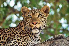 #Leopard at Mdonya Old River camp in #Ruaha and Lake Manze Camp in #Selous #Tanzania