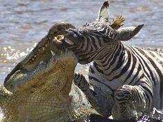 Crocodilo e zebra Quênia (Foto: Gabriela Staebler/Caters)