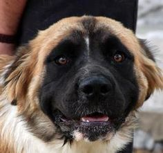 """Meet Bruce. Bruce is a 9 month old Saint Bernard Mix, he is currently 70 lbs and will be a big boy when he is fully grown. Some people tell him he looks like the dog from """"The Never Ending Story"""" and like Falkor, Bruce thinks he fly. He is a young, fun, spunky guy who is looking for a family to take him on lots of walks and to many of his beloved puppy play dates. Bruce is great with other dogs and people of all ages. His foster mom says he is very smart, just wants to plese and will do ..."""