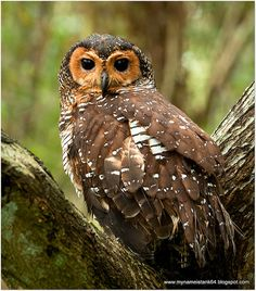 Source: Flickr / sulaiman_salikan  #spotted wood owl