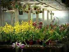 Especialista dá dicas de como ter e cuidar de orquídeas