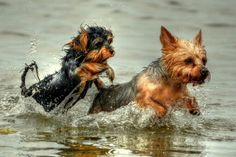 Gizmo isn't the only Yorkie to love playing in the water!