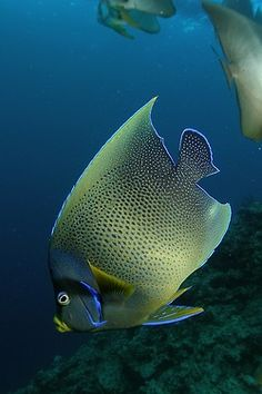 .                      Angelfish  by PacificKlaus on Flickr