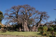 The world's largest tree is in South Africa. The Sunland Big Baobab has a diameter of 47 metres and it's also the world's only tree bar!
