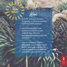 When most of us think of aloe we think of the gel we use after spending too much time in the sun. While this is indeed a health benefit of plant, it is definitely not the only one. According to TCM aloe is bitter in flavor and cold in properties and covers meridians of the liver and large intestine. The main functions are purgation, removing heat from the liver, and killing parasites. #tcm #acupuncture #herbblurb #yosanuniversity