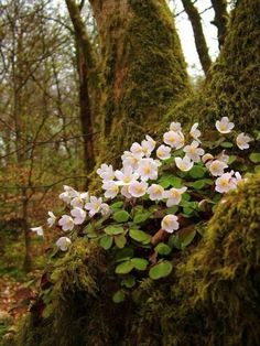 Spring in the woodland - Oxalis - Wood Sorrel Forest Flowers, Wild Flowers, Woodland Flowers, Mother Earth, Mother Nature, Oxalis Acetosella, Wood Sorrel, Woodland Garden, Walk In The Woods