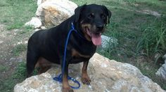 Where are my Rottweiler loving friends? This old girl needs a place to stay so she doesn't die in the shelter. Lady is 10 yrs old and friendly. Rottweiler, Old Women, Kansas City, Missouri, Shelter, Amy, Friends, Dogs, Animals