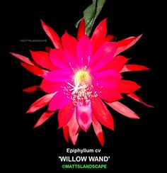 Epiphyllum, 'WILLOW WAND', 1 Gallon, Orchid Cactus, Green Healthy Stems, 3+Rooted Plant(s).