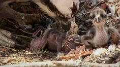 Today we welcomed two chicks to the nest on our Osprey Live Cam!