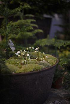 Mosskransar och julrosor