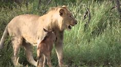 Lion saves a baby calf from another lion attack OFFICIAL