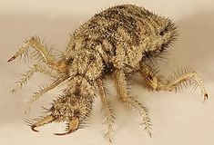 """""""There is also a beast which is master of the ant, it is the Ant Lion; it is a very little beast, who puts itself in the dust  where the ant goes, and does it great outrage"""" The Bestiary of Philippe De Thaun"""