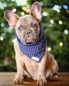 All I want for Xmas is you bae  Bandana by @themaxbone by greysonthedapperfrenchie