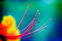 We Love the flower Pride of #Barbados.#caribbeandreamsmagazine.com #beautifulphoto