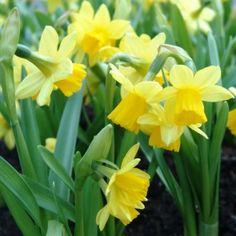 Narcissus Tête á Tête