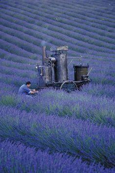 Campos de lavanda trabajados por Loccitane en Provincia francesa.