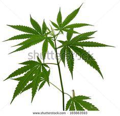 marijuana art drawings | Weed Plants Drawings Young cannabis plant marijuana