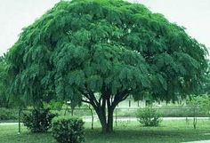 Chinaberry Tree-i have a tree like this that takes me back to maw-maw and pop's house. their tree like this was so majestic and had the best shade.  it was also the tree i was sitting under when my brother shot me in the nose with an arrow!