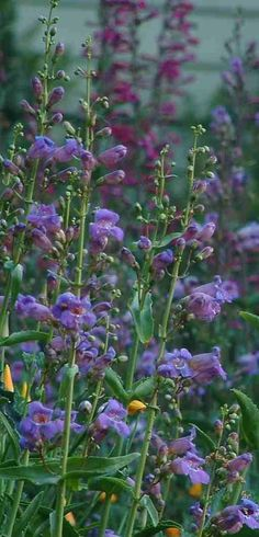 Penstemon spectabilis, Showy Penstemon is a natural in a large perennial garden. You can still have a perennial garden with no water, just use native plants. - grid24_6