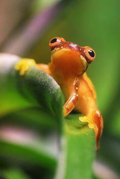 Neotropical Frog by beth keplinger on Flickr.