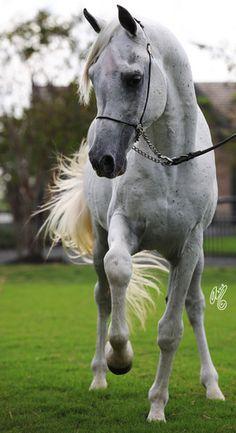 Purebred Egyptian Arabian horse named Ben Malik