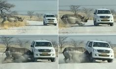 In the incredible video - filmed in Etosha National Park, Namibia - the rhino can be seen charging towards a jeep before ramming it as horrified tourists cowered inside.