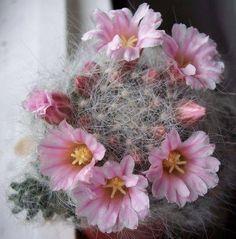 Mammillaria glassi