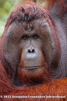 When male orangutans reach maturity, they develop large cheek pads, which female orangutans apparently find attractive. Male Orangutan, Chimpanzee, Animals Of The World, Animals And Pets, Cute Animals, Primates, Beautiful Creatures, Animals Beautiful, Slow Loris