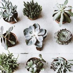 Wonderful variety of tiny succulent plants. Buy them small and don't water until the soil is dry.
