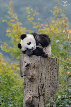 'Hi Folks' giant panda cub by Josef Gelernter